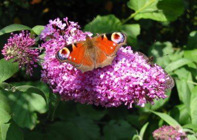 Dagpauwoog_op_vlinderstruik