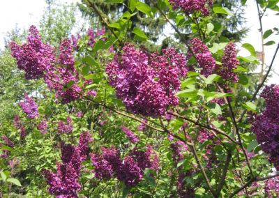 Lilac_(2)