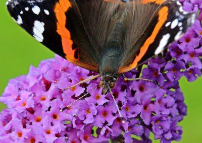 admiral-vanessa-atalanta-butterfly-edelfalter-158347