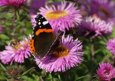 butterfly-astra-rusalka-garden