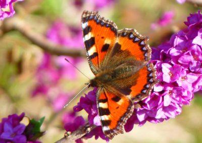 butterfly-little-fox-aglais-urticae-nymphalis-urticae-86761