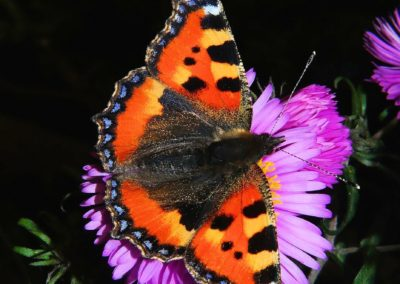 butterfly-little-fox-butterflies-edelfalter-50589
